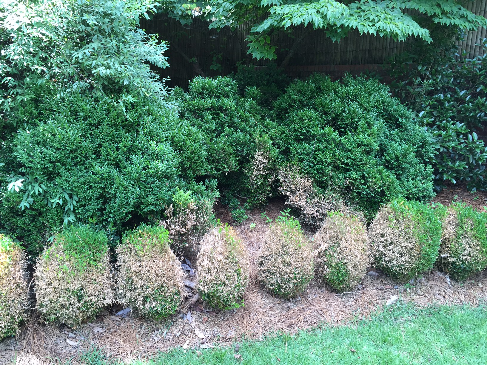 Boxwood Blight 1